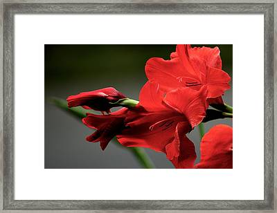 Chromatic Gladiola Framed Print