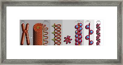 Chromatin Condensation, Diagram Framed Print by Art For Science