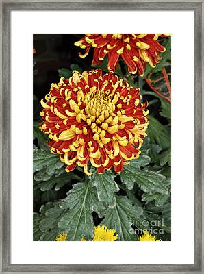 Framed Print featuring the photograph Chrysanthemum by Eva Kaufman