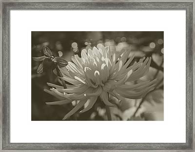 Chrysanthemum In Bloom Framed Print by Xueling Zou
