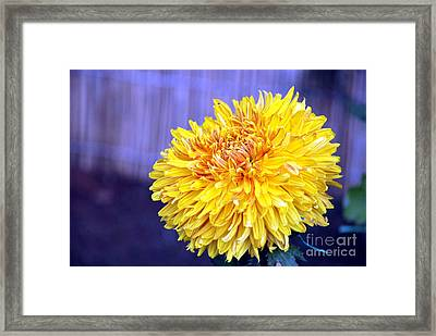 Framed Print featuring the photograph Chrysanthemum by Pravine Chester