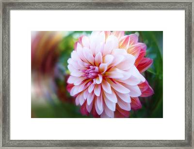 Chrysanthemum Revelation Framed Print