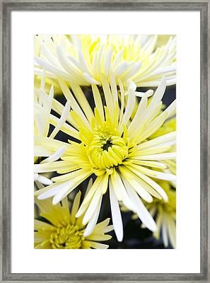 Chrysanthemum 'sheena' Framed Print by Jon Stokes