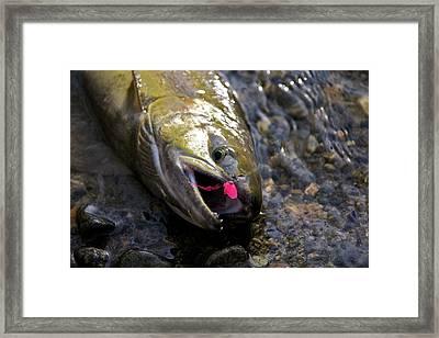 Chum Salmon Framed Print by Ivan SABO
