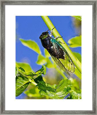 Cicada 002 Framed Print by Barry Jones