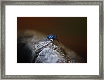 Cicindellidae Face To Face Framed Print by Douglas Barnett