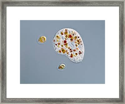 Ciliate Protozoan, Light Micrograph Framed Print by Gerd Guenther