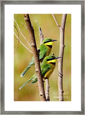 Cinammon-chested Bee-eater Framed Print