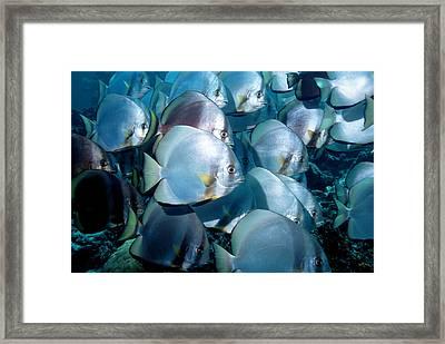 Circular Spadefish Framed Print by Georgette Douwma