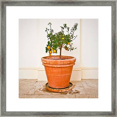 Citrus Plant Framed Print by Tom Gowanlock