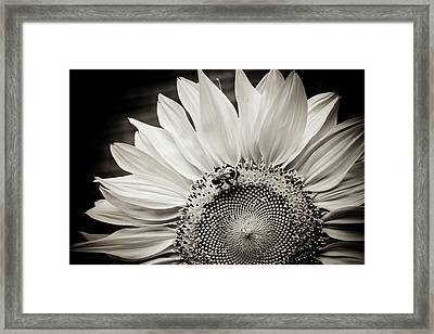 Classic Sunflower Framed Print by Sara Frank