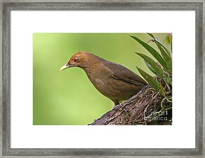 Clay-colored Thrush Framed Print