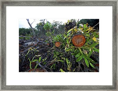 Clear Cut Red Mangrove Stand Framed Print