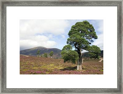 Cleared Scots Pine Forest Framed Print by Duncan Shaw