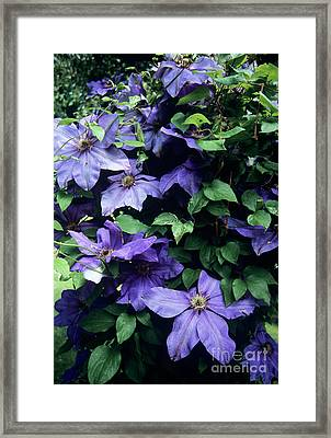 Clematis 'elsa Spath' Flowers Framed Print by Adrian Thomas