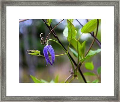 Clematis Flower And Vine Framed Print