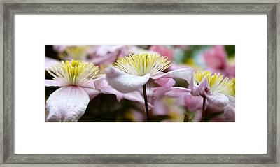 Clematis Framed Print by Karen Grist