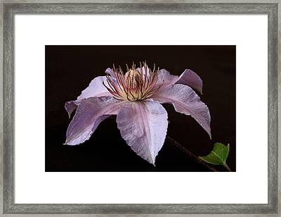 Clematis Framed Print by Shirley Mitchell