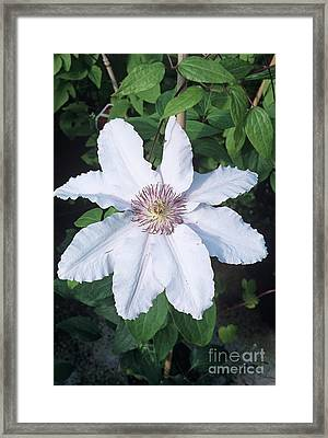 Clematis 'ville De Lyon' Flower Framed Print by Adrian Thomas