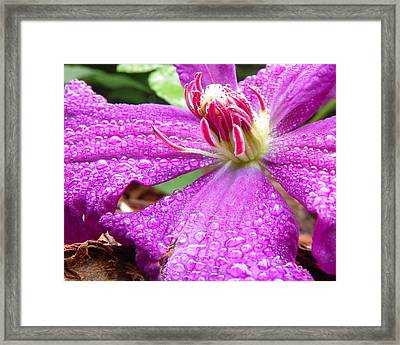 Framed Print featuring the photograph Clematis With Dew by Chad and Stacey Hall