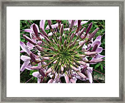 Cleome Framed Print by Louise Peardon