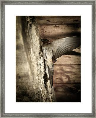 Cliff Swallows 2 Framed Print by Scott Hovind
