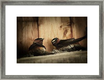 Cliff Swallows 3 Framed Print