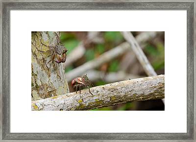 Climbing Crabs Framed Print by Mike Rivera