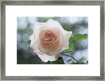 Climbing Rose (rosa 'penny Lane') Framed Print by Archie Young