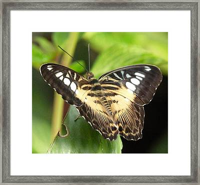 Framed Print featuring the photograph Clipper Butterfly by Lynn Bolt