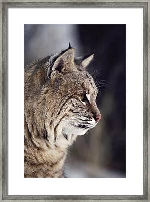 Close-up Of A Bobcat Felis Rufus Framed Print by Dr. Maurice G. Hornocker