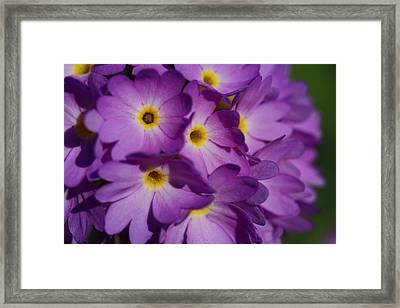 Close Up Of A Cluster Of Purple Framed Print by Joe Petersburger