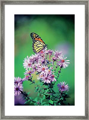Close-up Of A Monarch Butterfly (danaus Plexippus ) On A Perennial Aster Framed Print by Medioimages/Photodisc