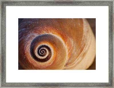 Close Up Of A Moon Snail Shell Showing Framed Print by Darlyne A. Murawski