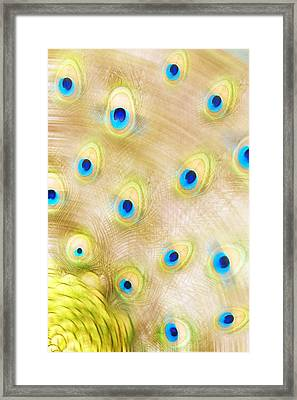 Close Up Of A Peacock Tail Framed Print by Chris Knorr