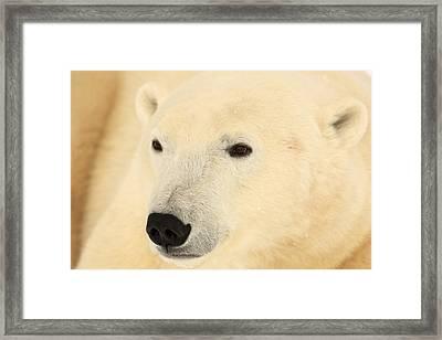 Close Up Of A Polar Bear, Churchill Framed Print by Robert Postma