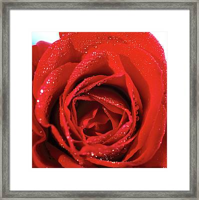 Close-up Of A Red Rose Framed Print by Stockbyte