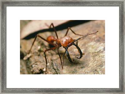 Close-up Of A Soldier Army Ant Framed Print