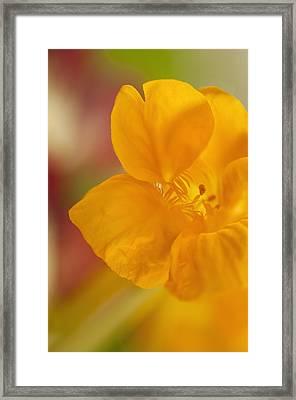 Close-up Of  A Yellow Nasturtium Flower Framed Print