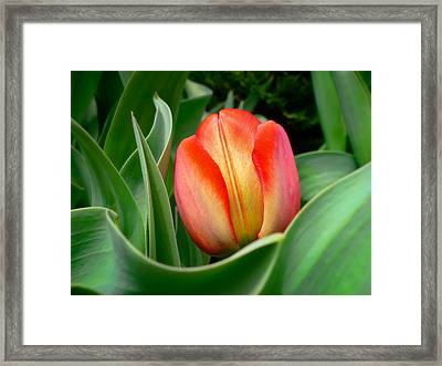 Close-up Of A Young Red Tulip Bloom With Green Leaves In A Spring Flower Bed Framed Print by Chantal PhotoPix