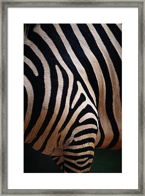 Close Up Of A Zebras Stripes Framed Print by Nick Caloyianis