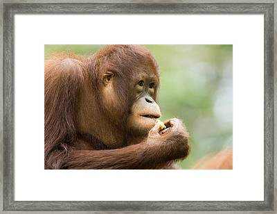 Close-up Of An Orangutan Pongo Pygmaeus Framed Print by Tim Laman