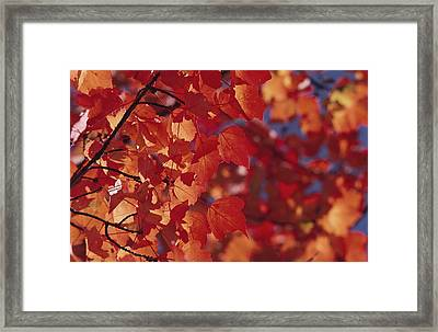 Close-up Of Autumn Leaves Framed Print by Raymond Gehman
