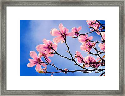 Cherry Blossums Framed Print
