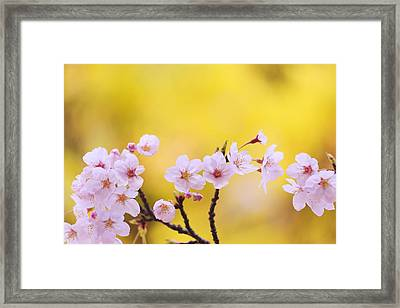Close Up Of Cherry Flowers Framed Print by Imagewerks