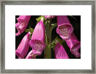 Close Up Of Foxglove Digitalis Flowers Framed Print by Darlyne A. Murawski
