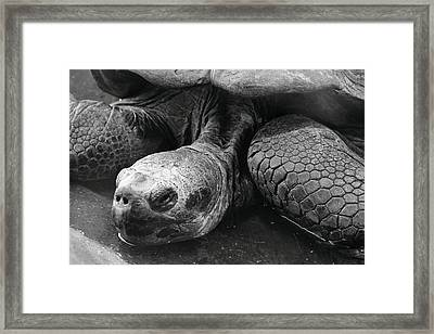 Close-up Of Galapagos Giant Tortoise Framed Print by Rich Lewis