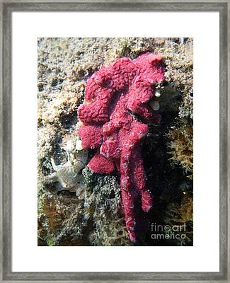 Close-up Of Live Sponge Framed Print by Ted Kinsman
