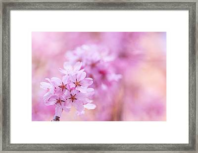 Close-up Of Oriental Cherry Tree Framed Print by Imagewerks