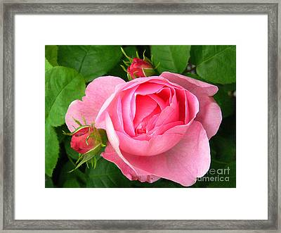 Rose And Rose Buds Framed Print